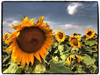 More sunflowers!